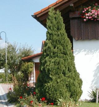 thuja brabant pflanzzeit lebensbaum thuja brabant 140 160. Black Bedroom Furniture Sets. Home Design Ideas